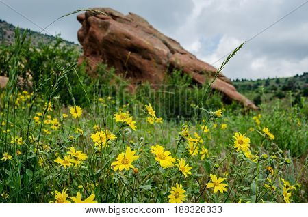 Yellow wildflowers bloom in early summer in Red Rocks State park