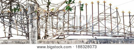 Rusty fence withe climbing plant isolated on white background and clipping path