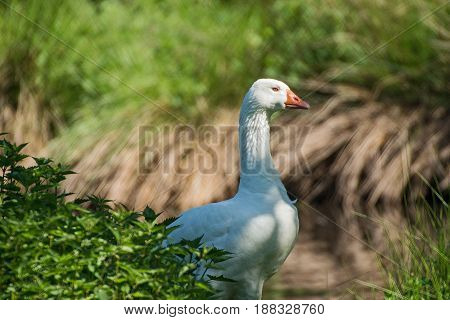 Portrait of a beautiful White goose in a wildpark