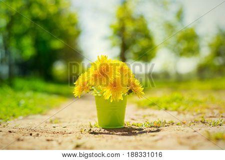 yellow dandelion flower in a bucket spring beautiful background