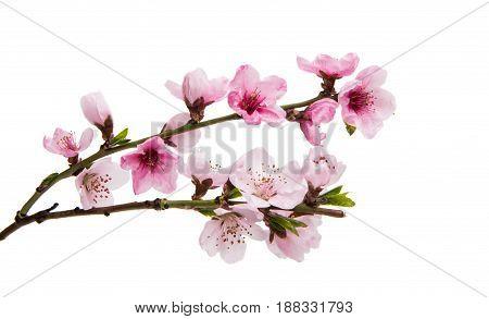 delicate Sakura flowers isolated on white background