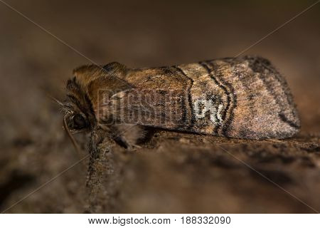 Figure of eighty moth (Tethea ocularis) at rest. Insect in the family Drepanidae. The moth is named for markings on the forewings resembling an '80'