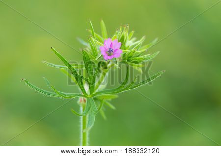 Cut-leaved crane's-bill (Geranium dissectum) leaves and flower. Pink flower on plant in the family Geraniaceae growing in a British meadow