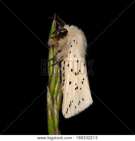 White ermine (Spilosoma lubricipeda) on grass. Insect with attractive markings in the family Erebidae at rest on seedhead of grass
