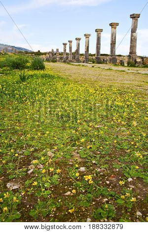 Volubilis In Morocco Africa The Old  Yellow Flower