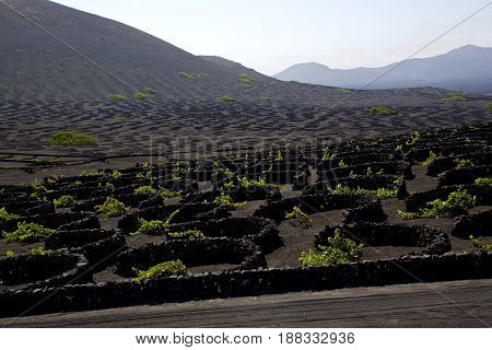 Wall Grapes Cultivation  Viticulture