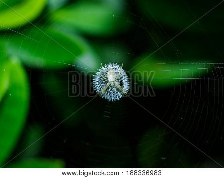 Very small white spider on his web with green background