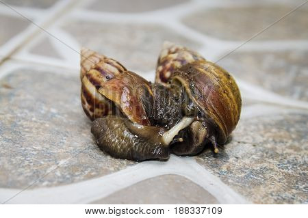 Mating Couple of snails in the garden