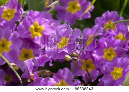 glade of pink flowers with yellow cores primroses plants