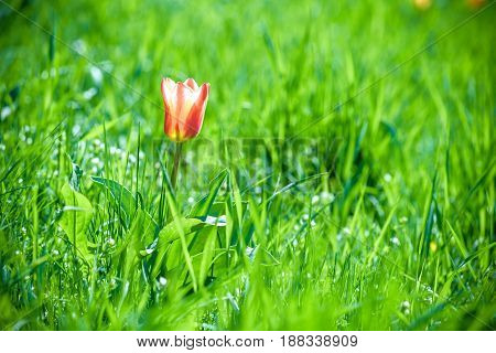 Single Red Tulip Stands Out Alone In The Green Grass
