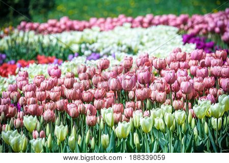 Lots Of Tulips In Different Colors In A Botanical Garden