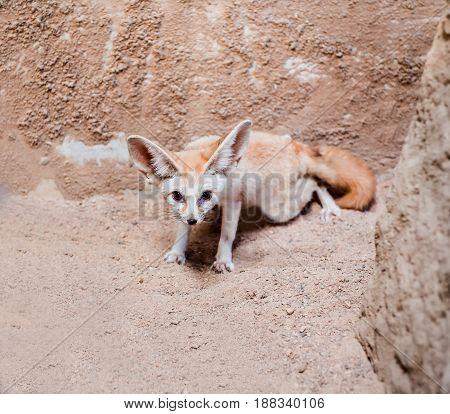 smallest Fennec fox in Sahara desert, animal in the forest