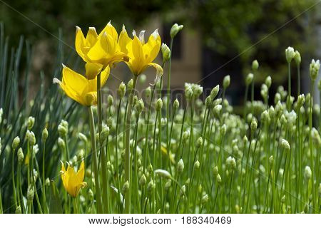 forest yellow tulips flower bed flower buds green stems and leaves