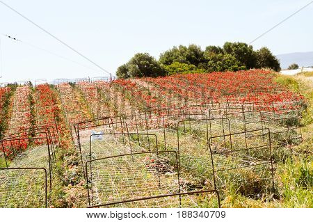 Production of red and white carnations in the Crete countryside