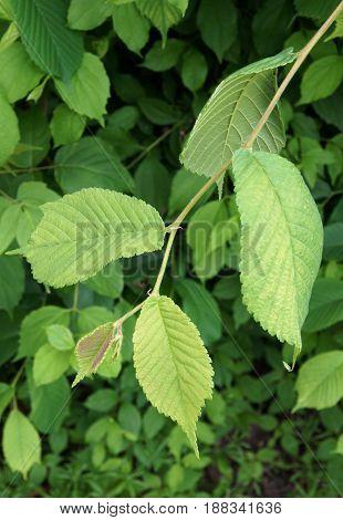 Fresh Leaves of Smooth-leaf Elm Ulmus carpinifolia in spring day