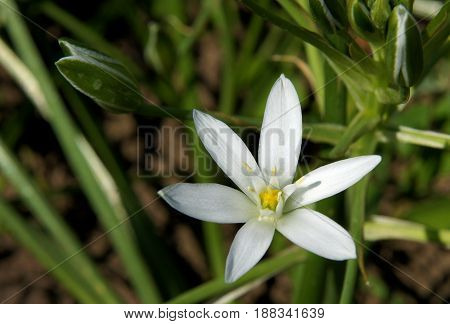 The closeup of bright flower Ornithogalum known as the Star-of-Bethlehem the beautiful white star-shaped flower in spring day