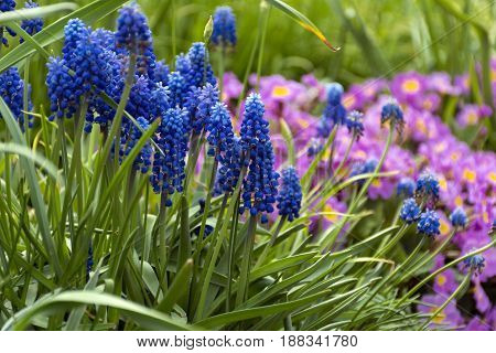 blue and pink spring hyacinth field flowers green leaves and stems