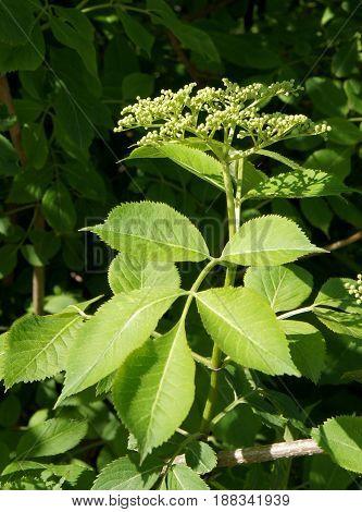 Unblown inflorescences of Elderflower or Sambucus nigra in spring day
