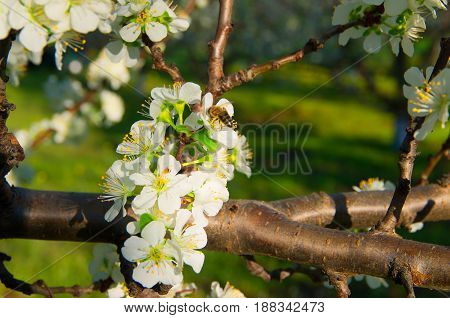 Bee pollinates flowering plum trees in the spring
