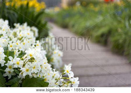 path among spring flowers primrose Primula flowerbed plants