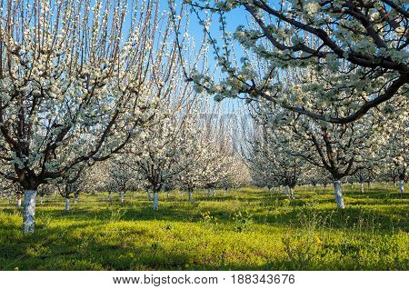 Agriculture - Blue plum orchard in full bloom in spring