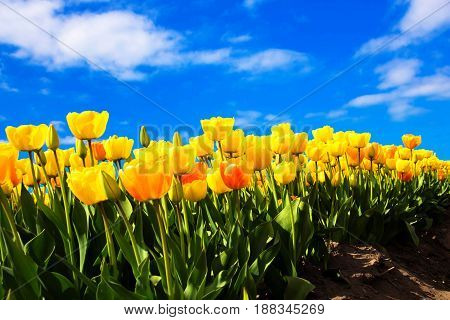 Spring yellow flowers tulips field. Many blooming flowers tulips.