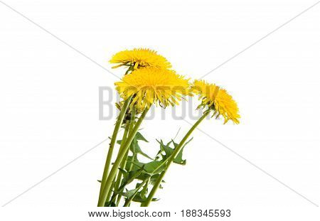 flowering Dandelion flower on a white background