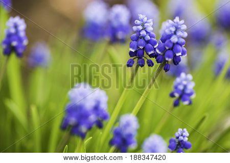 Muscari with blue flowers, close-up. Siberia, the Novosibirsk Region