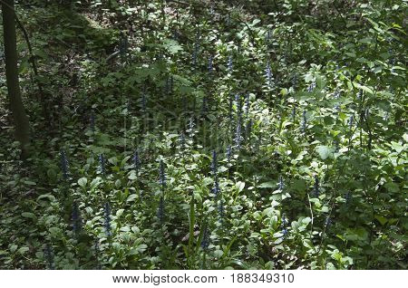 Ajuga reptans plants in a forest in spring