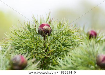 Burgundy flower buds planifolia peony green leaves