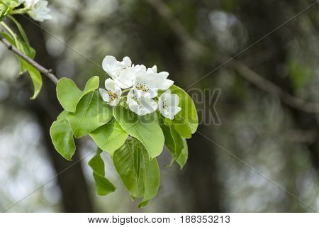 white flowers and green leaves on the branch of the cherry blossoms spring