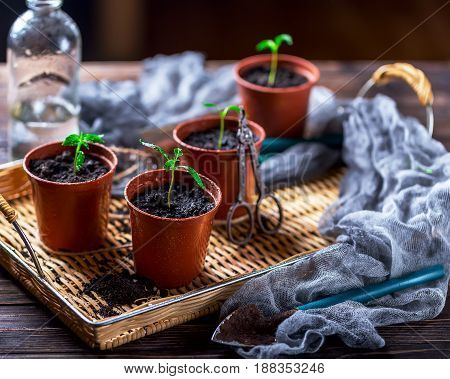 Young green plant with drops of water. Seedlings in small pots on a wooden tray. A bottle of water in the background. The concept of gardening. The concept of a new life. Selective focus