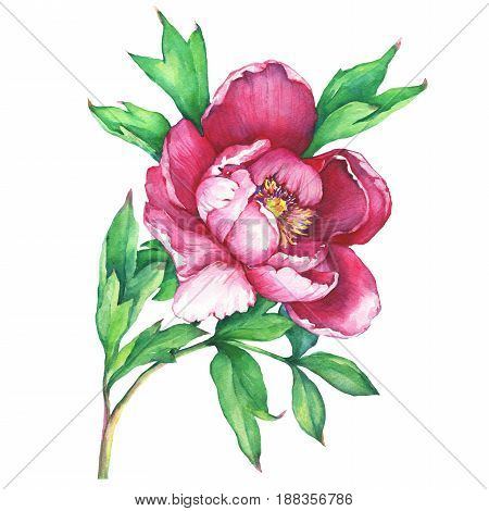 The branch flowering pink peony, isolated on white background. Watercolor hand drawn painting illustration.