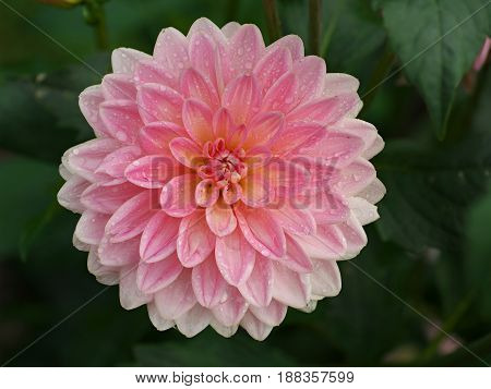 Pretty pink dahlia flower with dew drops in morning dahlia after rain.