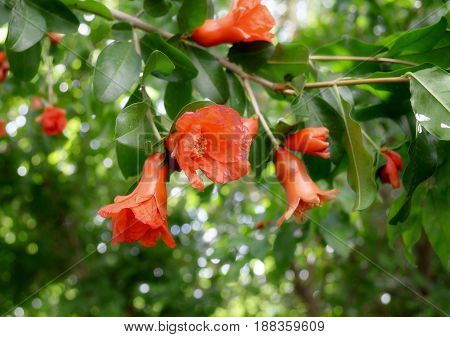 photography with scene of the branch with flowers pomegranate