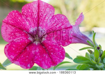 Beautiful Petunia Flower In Summer In Garden