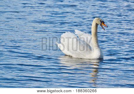 swan on the water South Bohemia Czech Republic