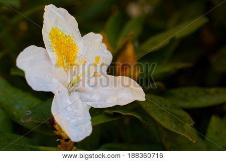 Beautiful White Rhododendron in Summer In Garden