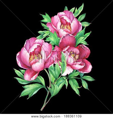 The bouquet flowering pink peonies, isolated on black background. Watercolor hand drawn painting illustration.