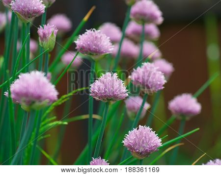 Chive onion flowers in a garden bed.