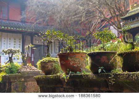 bonsai tree in chinese garden closeup photo