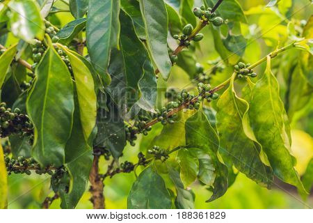 Unripe Coffee Beans On Stem In Vietnam Plantation