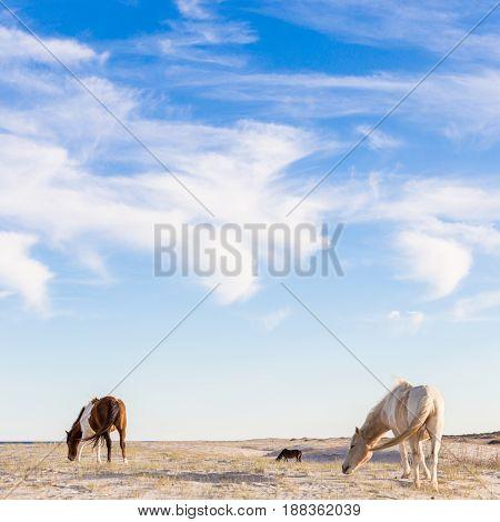 Wild Horse grazing on Assateague island natiuonal park.