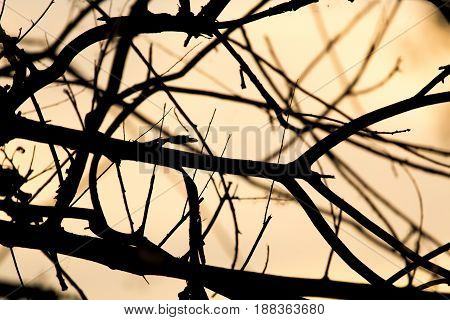 abstract silhouette of bare tree branches on a background of dawn.