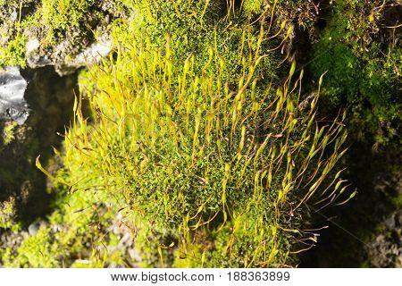 close up of green moss in nature.
