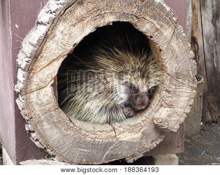 A porcupine hiding in a hollow tree trunk.