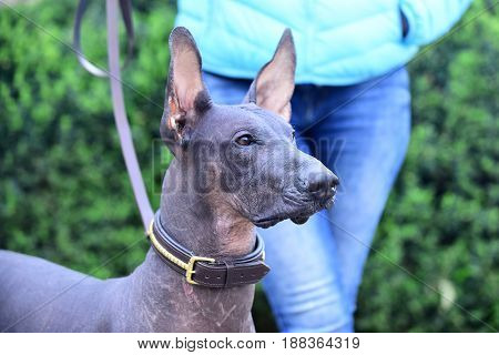 pet on walk hairless dog with grey color skin outdoor on blurred background