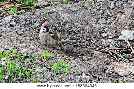 A common sparrow bird sits in a small hole in the spring evening.