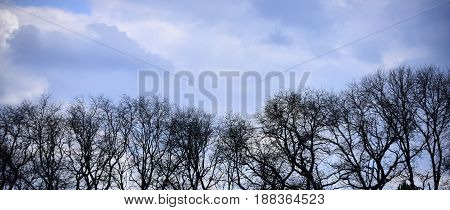 tree with bare branches in forest on blue sky natural background copy space