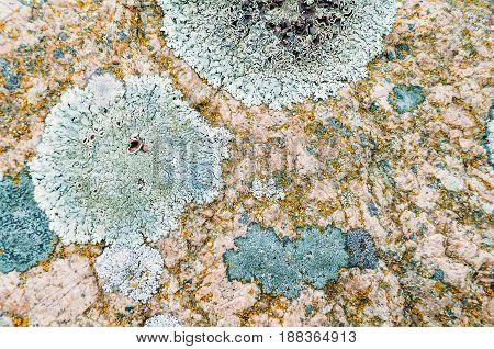 Natural Lichen Of Round Form On Stones.
